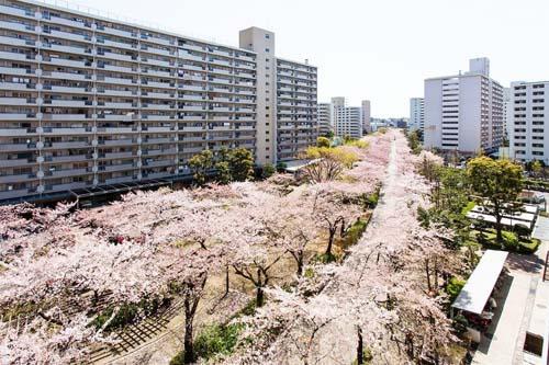 団地に桜が咲いている写真